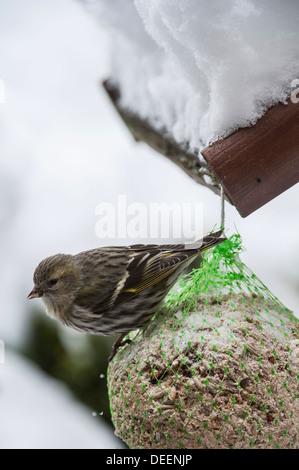 Eurasian Siskin (Carduelis spinus) female feeding from fat ball at bird feeder in garden in the snow in winter - Stock Photo