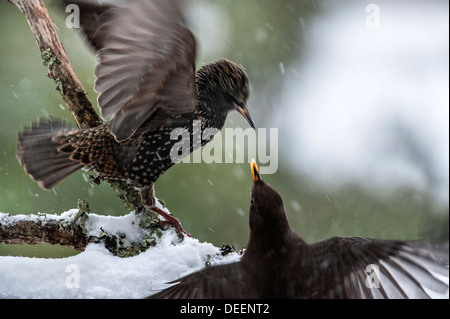 European Starling (Sturnus vulgaris) fighting with Common Blackbird (Turdus merula) in garden during snow shower - Stock Photo