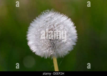 Common Dandelion (Taraxacum officinale) seedhead / seed head in meadow in spring - Stock Photo