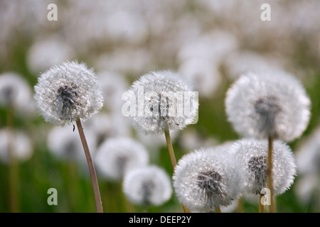 Common Dandelion (Taraxacum officinale) seedheads / seed heads in meadow in spring - Stock Photo
