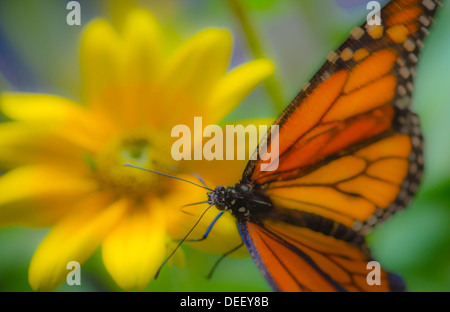 Monarch Butterfly Resting On Yellow Flower - Stock Photo