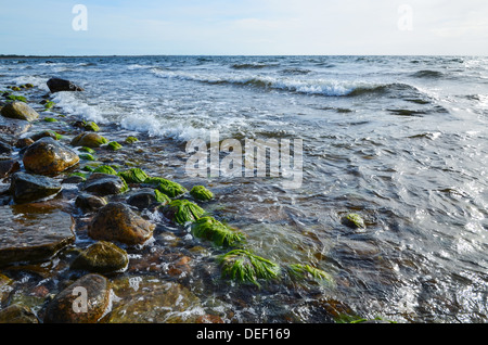 Seaweed at coastline at the Baltic sea on the island Oland in Sweden - Stock Photo