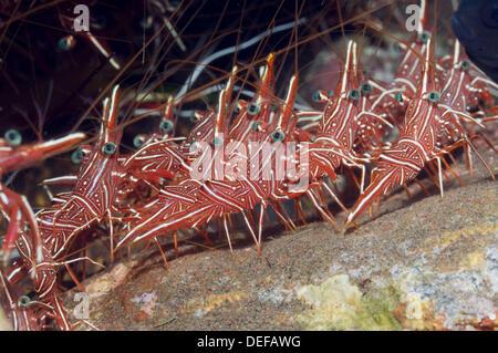 Durban hinge-beak shrimp (Rhynochocinetes durbanensis) congregation.  Bali, Indonesia. - Stock Photo