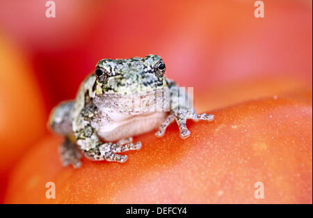 Gray treefrog (Hyla versicolor). Ontario. Canada - Stock Photo
