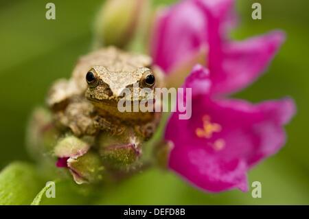 Spring peeper (Hyla crucifer) sitting on garden Spiderwort flower - Stock Photo