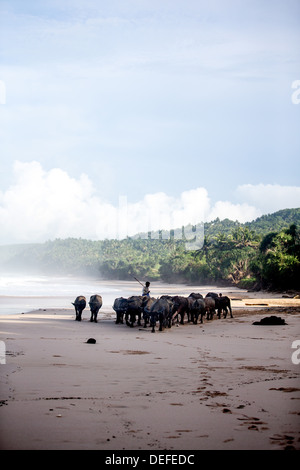 Buffalo herders on the beach in Sumba, Indonesia, Southeast Asia, Asia - Stock Photo