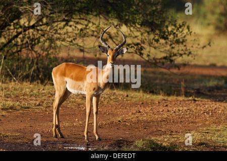 Impala (Aepyceros melampus) Maasai Mara wildlife Reserve, Kenya. - Stock Photo