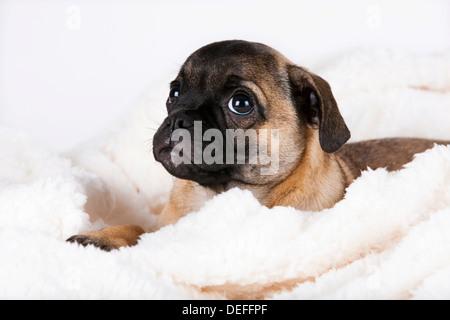 Retro Pug puppy, Austria - Stock Photo