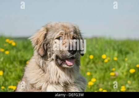 Caucasian Shepherd Dog, livestock guardian dog - Stock Photo
