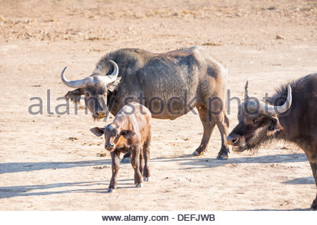 Family of buffalo (Syncerus caffer), Inverdoorn Game Reserve, Karoo desert, Ceres, Western Cape, South Africa, Africa - Stock Photo