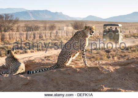 Safari jeep leaving cheetahs (Acinonyx jubatus) on game drive, Inverdoorn Game Reserve, Karoo desert, Ceres, South - Stock Photo