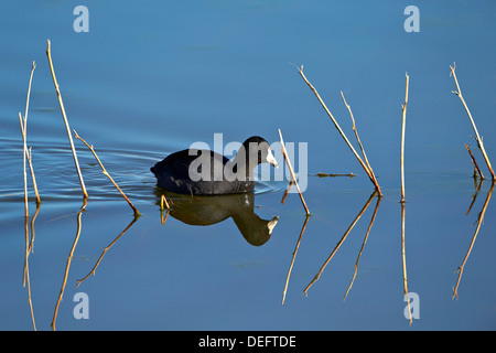 American coot (Fulica americana) swimming, Bosque del Apache National Wildlife Refuge, New Mexico, United States - Stock Photo