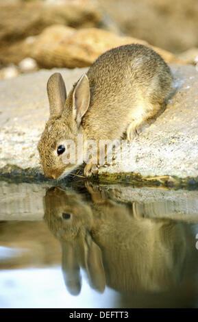European rabbit (Oryctolagus cuniculus) - Stock Photo