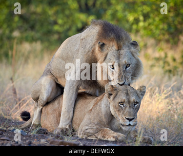 Lion (Panthera leo) pair mating, Kruger National Park, South Africa, Africa - Stock Photo