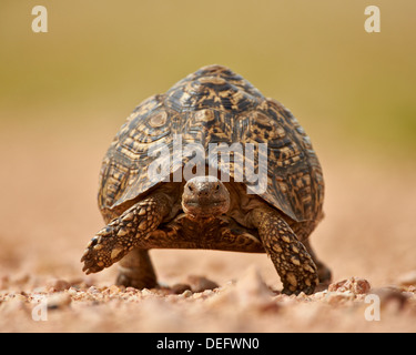 Leopard tortoise (Geochelone pardalis), Kruger National Park, South Africa, Africa - Stock Photo