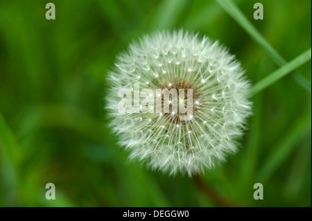 A dandelion, Taraxacum officinale, seedhead 'hour clock' in a country meadow - Stock Photo