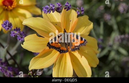 Aglais urticae small tortoishell butterfly - Stock Photo