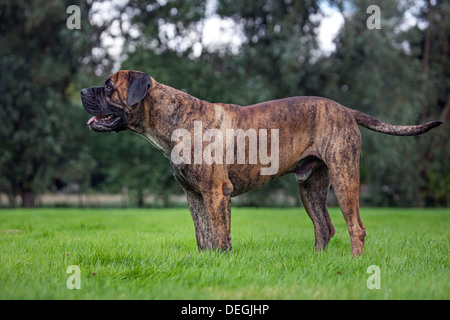 Boerboel, mastiff dog breed from South Africa in garden - Stock Photo