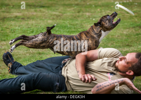 Staffordshire Bull Terrier dog fetching frisbee mid-air - Stock Photo
