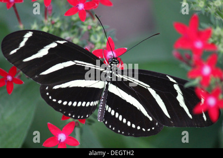 close-up of zebra longwing butterfly (Heliconius charitonius) - Stock Photo