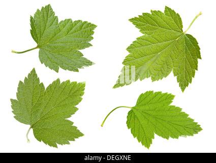 Black currant leaf set isolated on white - Stock Photo