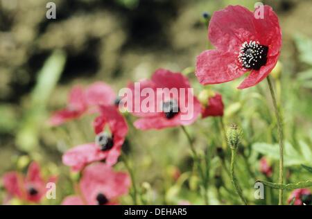 Rough poppy (Papaver hybridum) - Stock Photo