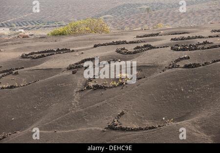 Common Grape Vine Vitis vinifera as cultivated in world-renowned volcanic region in La Geria, Lanzarote, Canary - Stock Photo