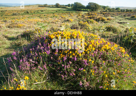 Western Gorse and Bell Heather in bloom on south side of Corndon Down, Dartmoor - Stock Photo