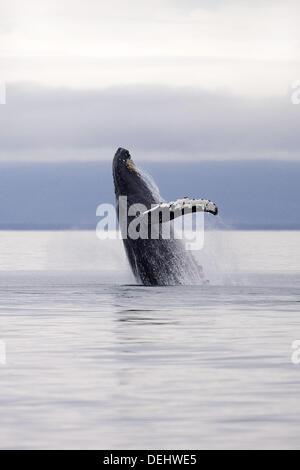 Humpback Whale breaches in South Eastern Alaska, USA - Stock Photo