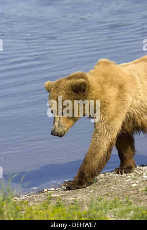 Grizzly Bear Sow walks beside the marsh near Naknek Lake, Alaska, USA - Stock Photo