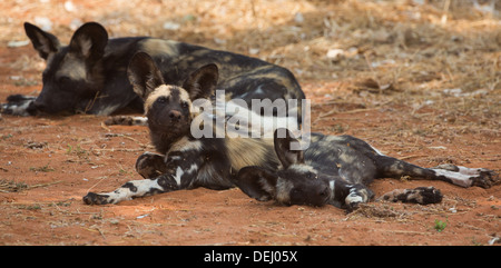 Wild dogs - Stock Photo