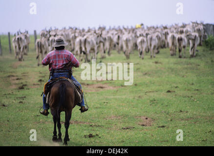 A Pantanerio Cowboy directs this herd of cattle back to the Caiman ranch in the Mato Grosso area of Pantanal, Brazil. - Stock Photo