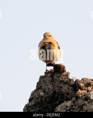 Female Northern Wheatear (Oenanthe Oenanthe) posing on a pile of dirt - Stock Photo