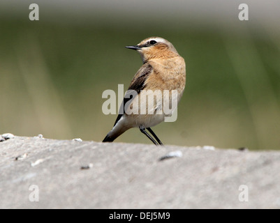 Female Northern Wheatear (Oenanthe Oenanthe) - Stock Photo