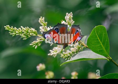 European Peacock butterfly (Aglais io / Inachis io) on privet flowers - Stock Photo