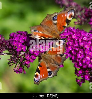 Two European Peacock butterflies (Aglais io / Inachis io) on summer lilac flowers / butterfly-bush (Buddleja davidii) - Stock Photo