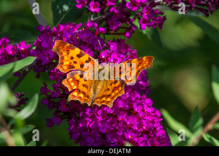 Comma butterfly (Polygonia c-album) on summer lilac flowers / butterfly-bush (Buddleja davidii) - Stock Photo