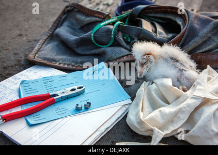 Bird ringer's notebook, pair of pincers and metal rings for ringing Barn owl (Tyto alba) owlet / chick - Stock Photo