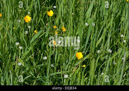 Lesser stitchwort, Stellaria graminea, with field buttercups, Ranculus acris, flowering in a Devon grass meadow - Stock Photo