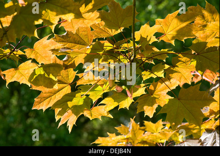 Light shining through the young leaves of an ornamental maple tree, Acer, with a pale red tinge - Stock Photo