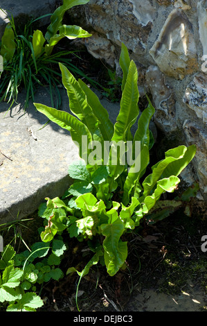 Hart's-tongue fern, Asplenium scolopendrium, growing with other plants between stone garden steps - Stock Photo