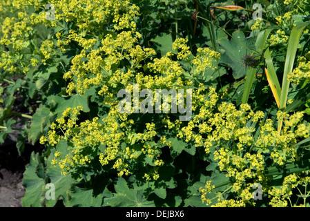 Flowering lady's mantle, Alchemilla mollis - Stock Photo