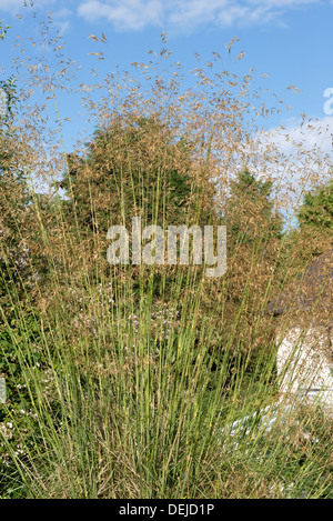Stipa gigantea golden oats giant feather grass stock for Giant ornamental grass
