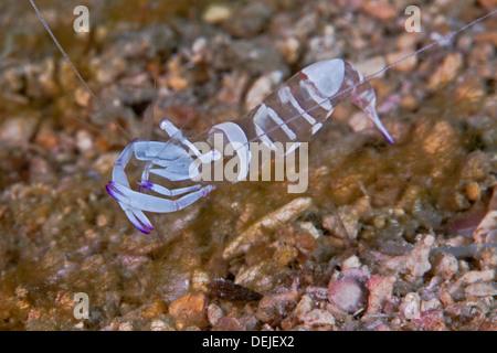 Magnificent anemone shrimp, Periclimenes magnificus). - Stock Photo