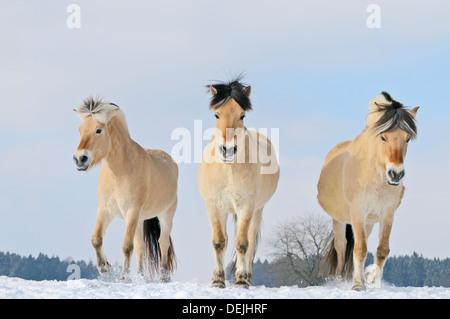 Norwegian horses in winter - Stock Photo