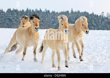 Four Fjord horses galloping in snow - Stock Photo