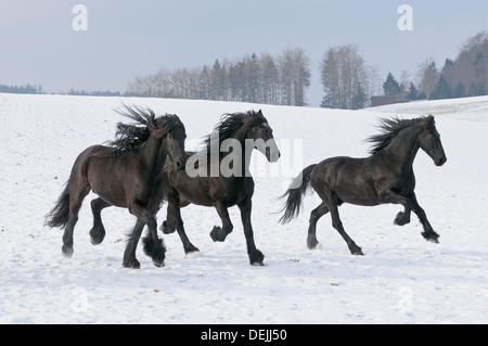 Three Friesian horses galloping in snow - Stock Photo