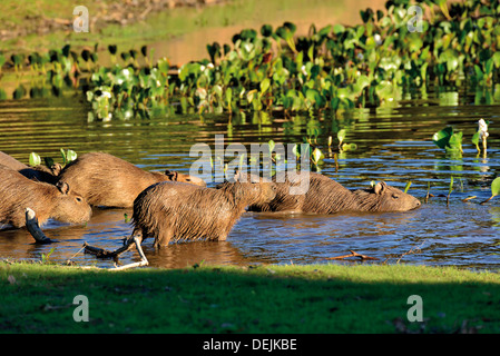 Brazil, Pantanal: Family of Capybaras (Hydrochoerus hydrochaeris) entering in the water - Stock Photo