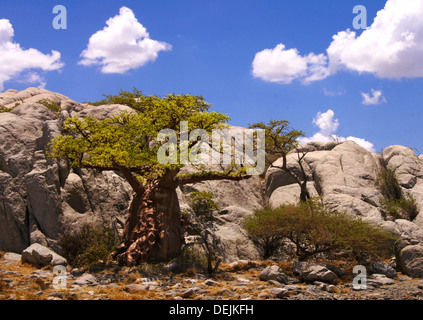 Baobab trees on the Lekhubu Island, Botswana - Stock Photo