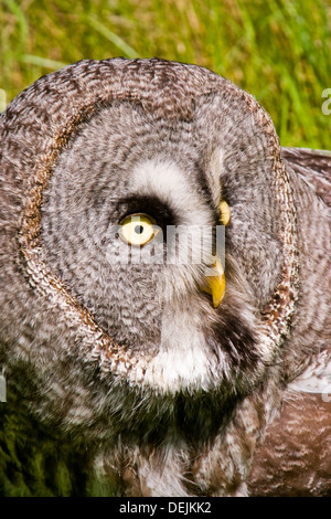 A side profile of a Great Grey Owl at a Falconry Day at Greetham Garden Centre - Stock Photo